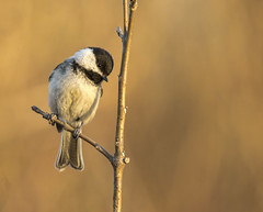 black capped chickadee.... (Kevin Povenz Thanks for all the views and comments) Tags: 2018 april kevinpovenz westmichigan michigan ottawa ottawacounty ottawacountyparks grandriverpark field blackcappedchickadee bird songbird nature wildlife canon7dmarkii sigma150500 outdoors outside