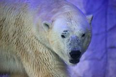 Polar (dotcomdotbr) Tags: sony alpha a77 sal55300 aquário são paulo sp animal mamifero urso polar branco