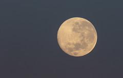 20180501_9281_7D2-600 Full Moon Setting (121/365) (johnstewartnz) Tags: 100canon 600mm 600mmf4 600 ef600mmf4lis canon600mmf4 moon lunar fullmoon canon canonapsc apsc eos 7d2 7dmarkii 7d canon7dmarkii canoneos7dmkii canoneos7dmarkii onephotoaday oneaday onephotoaday2018 365project project365 121365 day121