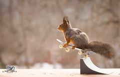 red squirrel is jumping on a Skateboard in the air (Geert Weggen) Tags: animal backlit bright cheerful closeup cute humor mammal nature photography red rodent sport squirrel redsquirrel play matchsport nopeople competition winning championship lowangleview midair sportsevent sportsvenue skateboarding skateboard skatesportsskating wheel balance extremesports motion citylife plank activity enjoyment equipment leisureactivity relaxation singleobject speed street stunt summer transportation fly air geert weggen hardeko sweden bispgården jämtland ragunda