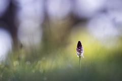 Orchis brûlée - Neotinea ustulata (Thomas Vanderheyden) Tags: neotinea ustulata orchis brulee flore flora fleur flower vegetal colors couleur orchidee bokeh macro proxi samyang135mm xt1 thomasvanderheyden nature ngc beautifulearth