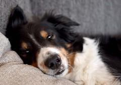 (A Edvall) Tags: pet dog animal border collie bc