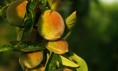 Small peaches are growing (Alfredo Liverani) Tags: 7dayswithflickr 7dwf flora canong5x canon g5x pointandshoot point shoot ps flickrdigital flickr digital camera cameras