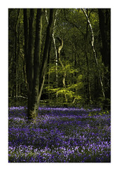 It's Just That Time Of Year (Sandra Draper) Tags: d7100 rufford bluebells blue nottinghamshire