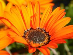 Frühlingsschönheit (schasa68) Tags: blumen flowers pflanzen nature orange nahaufnahme macro