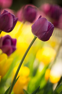 Impulse - Festa dei Tulipani