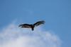 7K8A5179 (rpealit) Tags: scenery wildlife nature hamburg mountain management area turkey vulture bird