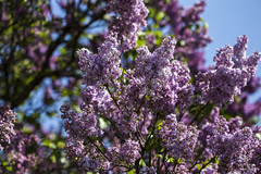 In the Lilac garden (o.shenko) Tags: moscow lilac flowers park aromas