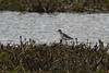 Wood Sandpiper. (stonefaction) Tags: wood sandpiper birds nature wildlife loch kinnordy kirriemuir angus scotland