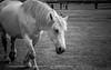 Horse ! (Cedraw) Tags: horse cheval animaux nature fantasticnature soe bokeh extrembokeh lightscape streetscape street urban urbain bichromie blackwhithe noiretblanc blackandwhite black blanc white noir grey nikon18140 blur dof nikon bw light flou gris monochrom monochrome nikond7200 profondeurdechamp