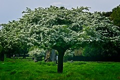 Bushy Park Spring 2018 - 28 (garryknight) Tags: sony a6000 on1photoraw2018 london creativecommons ccby30 bushypark richmonduponthames park plant tree hawthorn flower mayflower