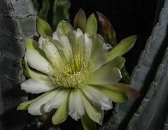 Night Blooming Cactus Flower -5819 (Bill Gracey 19 Million Views) Tags: fleur flower flor cactus cactusflower large nightbloomingcactus offcameraflash lastoliteezbox softbox ambientlight backlit backlighting yongnuo yongnuorf603n lakeside garden