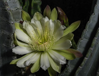 Night Blooming Cactus Flower -5819