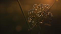 Golden flowers (mpersson60) Tags: blommor flowers motljus backlight bokeh
