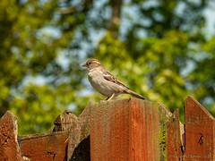 juvenile house sparrow (Rourkeor) Tags: bird sparrow small fence ayrshire scotland unitedkingdom gb olympus omd em1mk2 12100mmpro mft garden