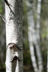 jeunes pousses-5552 (J-P Rioux) Tags: jprioux fujifilm helios442 parc escarpement feuilles