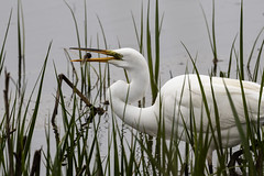 Great Egret with catch...6O3A2040CR2A (dklaughman) Tags: greategret egret bombayhooknwr delaware