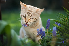 Flowers are... (Andreas Krappweis - thanks for 3 million views!) Tags: bengal mink white snow bengals spotted bengalcat flowers eating destroying shallowdof bokeh purebreed outdoor domesticcat garden spring muscari flashbengals