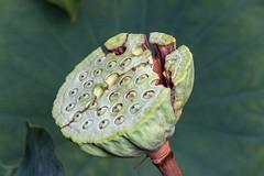 Cracked - _TNY_3699 (Calle Söderberg) Tags: macro canon canon5dmkii canoneos5dmarkii canonef100mmf28usmmacro flash meike mk300 glassdiffusor 5d2 vietnam phuquoc mercuryphuquocresortvillas flower seeds cracked green lotus indianlotus nelumbo nuctifera cracks sacredlotus beanofindia egyptianbean nelumbonaceae f13