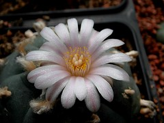 Lophophora flower (Skolnik Collection) Tags: lophophora flower skolnik collection cactus nursery mexico