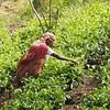 Woman tea picking, Kithalaella to Ella Gap, Sri Lanka (malithewildcat) Tags: ella srilanka uvaprovince woman teapicker