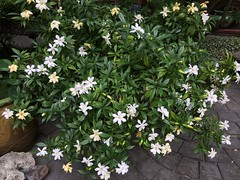 Gardenia Bush (Philosopher Queen) Tags: gardenias flowers scent fragrance blooming spring whitefloral