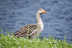"greylag5 • <a style=""font-size:0.8em;"" href=""http://www.flickr.com/photos/157241634@N04/40937014705/"" target=""_blank"">View on Flickr</a>"
