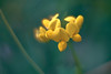 Yellow flowers in the shadows (drop_m) Tags: manual manuallens manualfocus vintage vintagelens primelens prime old oldlens sony sony7rii sonyalpha7rii sonyilce7rm2 sonyalpha 7rmii 7rm2 ilce7rm2 carl carlzeiss carlzeissjena zeiss jena carlzeissjenapancolar carlzeissjenapancolar50mmf18 pancolar50mm18 pancolar50mmf18 pancolar pancolar50mm pancolar50 helicoid macrofocusinghelicoid macro closeup bokeh dreamy dream flower italy spring yellow flowers shadow cold dark shadows light highlights 2018 50mm f18 bokehlicious bokehofvintageprimes 7dwf dof deepoffield field deep countryside