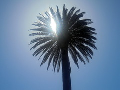 DSC03633 (classroomcamera) Tags: sonoma california palm palms tree trees palmtree palmtrees sun sunlight sunshine light lights day daytime spring springtime high noon highnoon noontime time trunk trunks leaves leaf leafy beach beaches beachy backlit backlighting