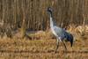 Grus grus (Linnaeus, 1758) - Eurasian crane (axel.becker73) Tags: wildlife wildlifephotography crane grus d500 nikon sigma150600 bird aves vogel kranich karow waren müritz birdphotography birding