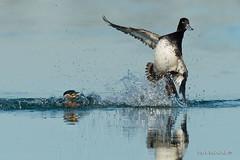 Sneak attack... (Earl Reinink) Tags: duck waterfowl grebe lesserscaupduck redneckedgrebe water fight flight splash bird animal earl reinink earlreinink nature spring eretuhdza sundaylights
