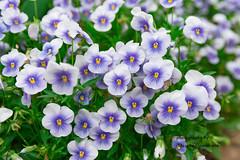Pansy garden (yumehana) Tags: ibaraki may pansy tsukuba viola blue garden park spring