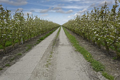 Orchard Road (Alfred Grupstra) Tags: agriculture nature ruralscene farm field inarow outdoors greencolor summer plant sky growth landscape crop landscaped blue land vineyard nopeople nonurbanscene orchard