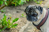 DSC00114 (ZoRRaW photography) Tags: pug dog