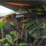 黃帶箭毒蛙_01 thumbnail