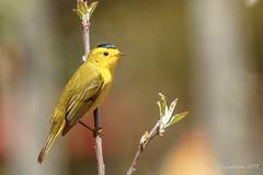 Wilson's Warbler (Bob Gunderson) Tags: birds california cardellinapusilla fortmason northerncalifornia sanfrancisco warblers wilsonswarbler woodwarblers