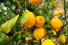 054 (JirkaVorel) Tags: portugal europe mertola lemon tree fruit yellow