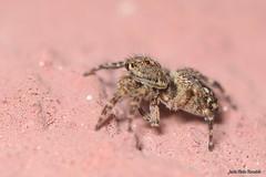 Sitticus pubescens (Fabricius, 1775) (Jesús Tizón Taracido) Tags: chelicerata arachnida micrura megoperculata araneae araneomorphae salticoidea salticidae sitticuspubescens