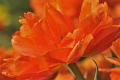 Oranje boven ...... (wilma HW61) Tags: tulips tulp tulipes tulipa tulipe tulip tulpe oranje orange flower bloem flor fleur flora floral floreale natuur nature natur naturaleza voorjaar lente spring primavera printemps frühling blume nederland niederlande netherlands nikond90 holland holanda paysbas paesibassi paísesbajos europa europe macro closeup depthoffield wilmahw61 wilmawesterhoud