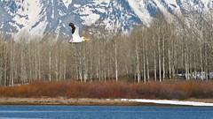 Pelican in Flight_6181 (Jay Hyer) Tags: tetons oxbowbend