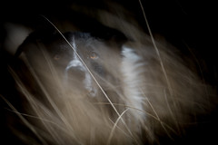 A Light in the Darkness (JJFET) Tags: border collie sheepdog dog