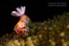 Nudi at Oak Park (Nicolas & Léna REMY) Tags: nsw marinelife underwater ocean nudibranch australia wildlife nauticam sydney retra oakpark pacificocean cronulla diving mer nudibranche photography plongée scuba sea seaslug wild