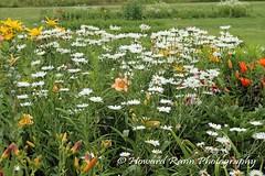 Benton Daylilly Farm (48) (Framemaker 2014) Tags: benton daylily farm garden flowers columbia county pennsylvania endless mountains united states america