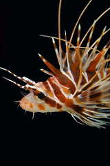 lionfish/black background (BarryFackler) Tags: pteroissphex hawaiianredlionfish nohupinao turkeyfish psphex scorpionfish hawaiianredturkeyfish lionfish fish venomous vertebrate animal blackbackground nature spines water aquatic sea bay ocean pacificocean diving dive westhawaii marinelife marinebiology marineecosystem biology being creature coralreef honaunaubay hawaiianislands polynesia scuba undersea reef ecology island fauna tropical hawaii sealifecamera kona marineecology barryfackler diver organism hawaiiisland sandwichislands konadiving bigislanddiving hawaiidiving konacoast life outdoor southkona seacreature hawaiicounty honaunau saltwater underwater seawater pacific sealife zoology bigisland barronfackler tropicalfish reeffish 2017 macro