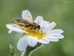 Cogiendo fuerzas. (Jesus Tejon) Tags: abeja macro polen margarita olympus macrofografia insectos