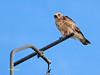 Culebrera europea (Circaetus gallicus) (9) (eb3alfmiguel) Tags: aves rapaces falconiformes accipitridae culebrera europea circaetus gallicus
