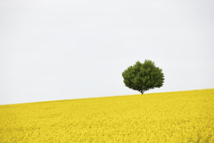 L1000462_CL_55-135TL_052018_Taunus_Grävenwiesbach_Raps_Baum (peterjh2010) Tags: allemagne nature tree spring hessen taunus landscape germany