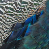 living art v.2/13 (Wendy:) Tags: feathers peacock abstract marlaypark