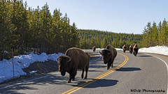 Morning Commute (KGrif_) Tags: buffalo bison animal nature mammal road horns forest yellowstone yellowstonenationalpark park hunting outdoors snow hoof fur group morning spring herd
