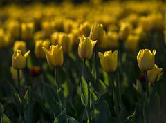 Yellow sea (Varvara_R) Tags: flower flowers yellow tulip tulips lowlight eveninglight light nature nikon ngc